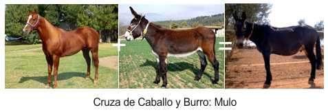 cruza caballo y burro