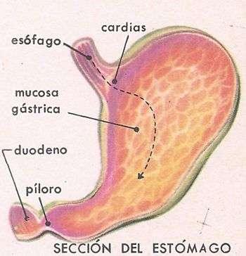 corte esquematico del estómago