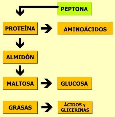 etapas de la digestion