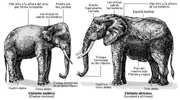 diferencia elefante africano y asiatico
