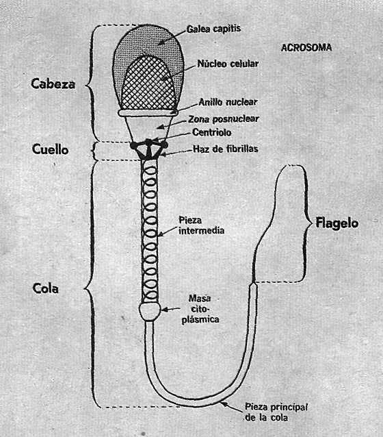 esquema de un espematozoide