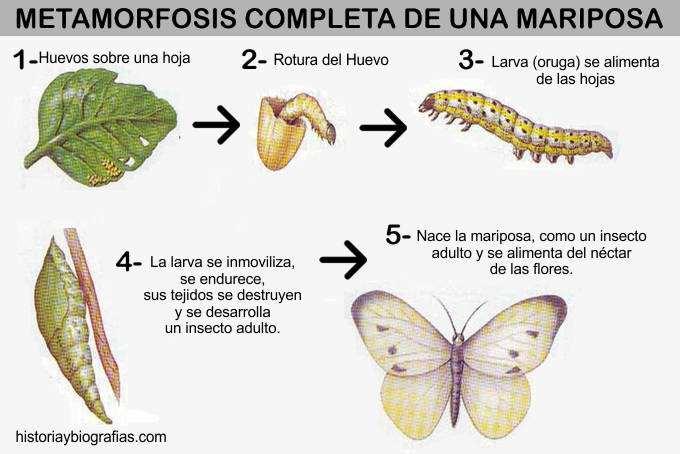 esquema de la metamorfosis completa de una mariposa