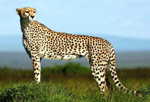 felino Cheetah , record de velocidad
