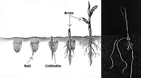 la raiz evolucion