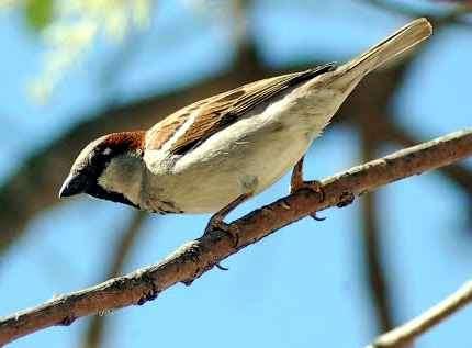 aves populares de  argentinas el gorrion