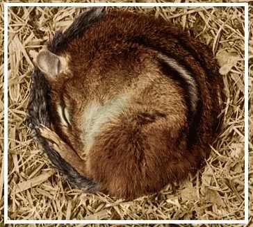 ardilla hibernando