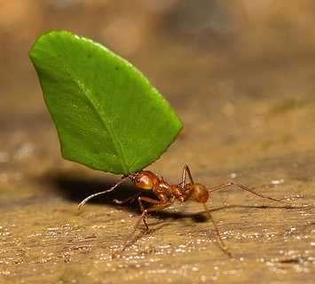 hormigas cosechadoras