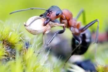 hormiga con sus pinzas