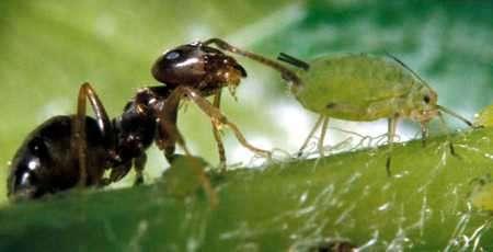 hormiga áfidos