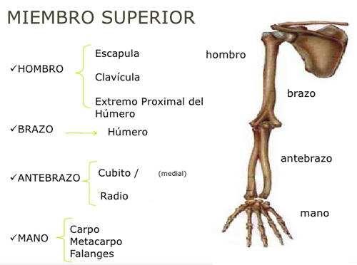 Huesos de los Miembros Hombro, Brazo Mano Extremidad Superior