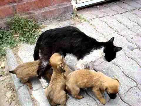 Gata amantando a cachorritos