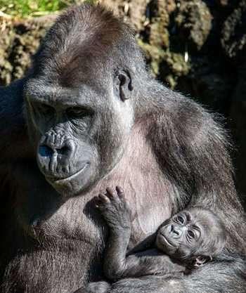 La Comunicación de los Gorilas Koko y Kanzi Lenguaje