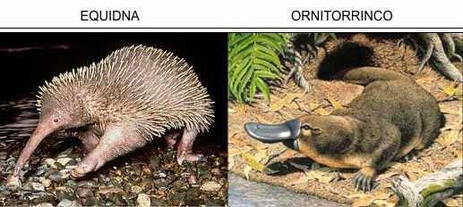 mamiferos ornitorrinco y aquidna