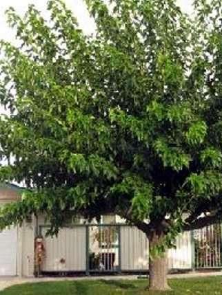 Arboles para dar sombra mejores plantas para espacio p blico for Arboles de jardin de hoja perenne