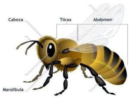 Partes de un Insecto