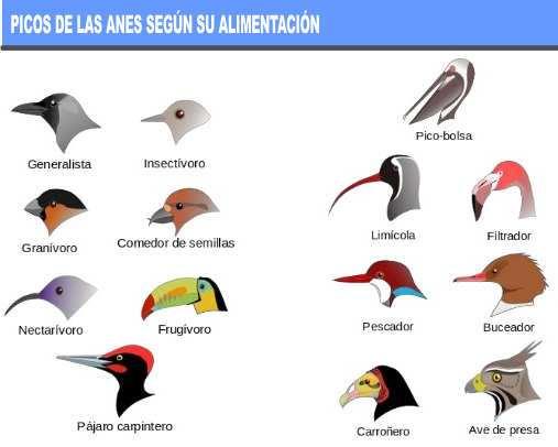 picos de las aves segun su alimentacion