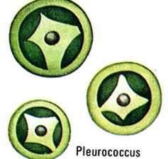 pleurococo planta unicelular