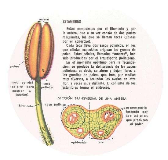 reproduccion de las plantas estambres