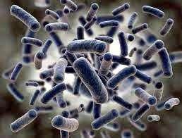 bacteria de probioticos