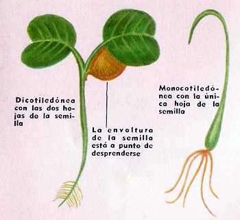 plantas dicotiledonea