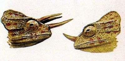 Cuernos en algunos los Reptiles