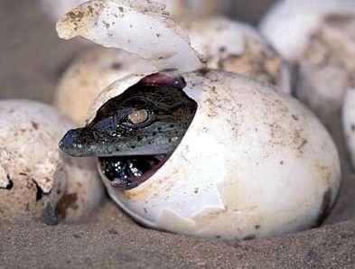 huevo de un reptil