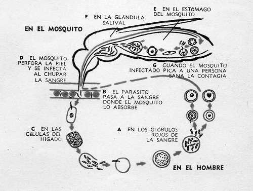 ciclo del paludismo