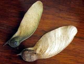 semillas de arce en forma de ala