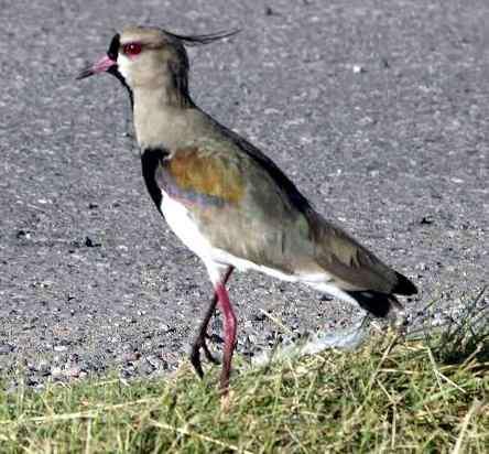 tero aves populares de argentina