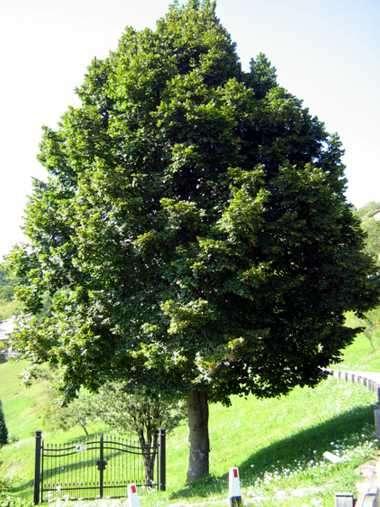 Arboles para dar sombra mejores plantas para espacio p blico for Arboles frondosos para jardin