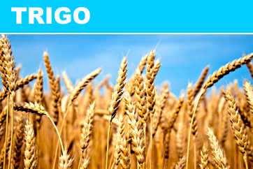 ALIMENTO trigo