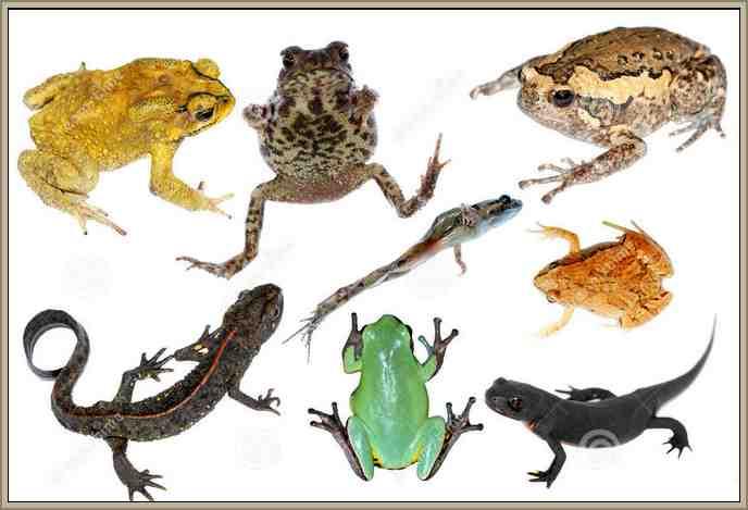 abfibios reino animal