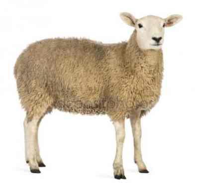 oveja animales para consumo