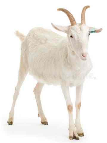 animales para consumo cabra