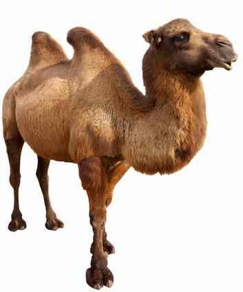 animales para consumo camello