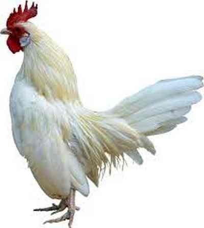 animales para consumo gallina