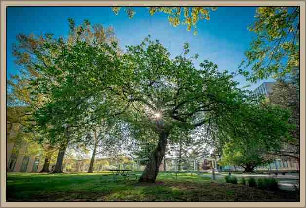 manzano de newton Arboles Historicos y Celebres