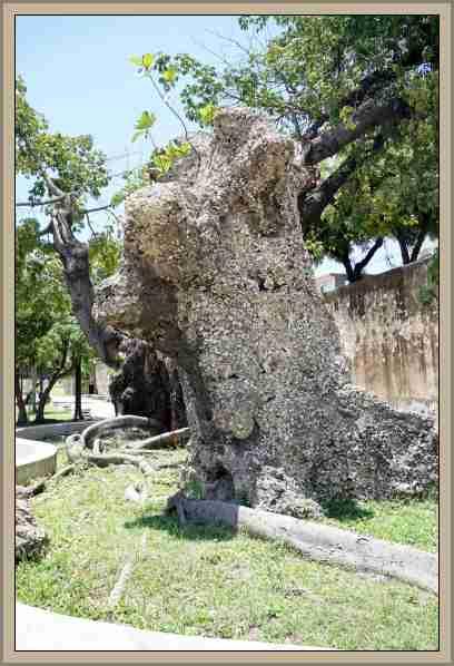 Arboles Historicos y Celebres la ceiba de colon
