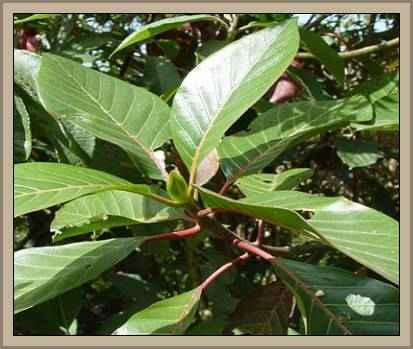 arbol quina