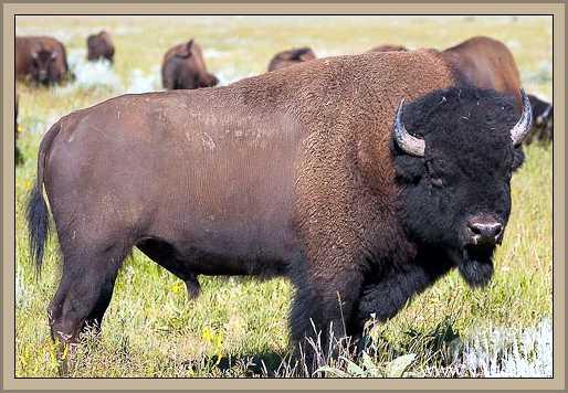 bisonte norteamericano