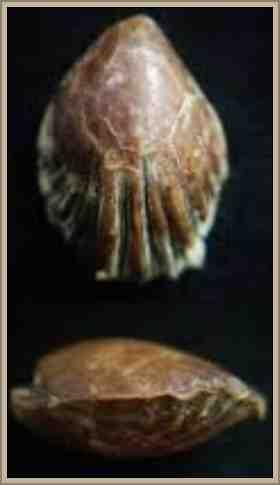 cranias invertebrado clasificacion