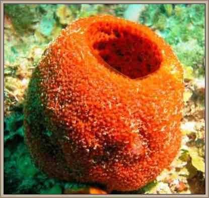 clasificacion invertebrados esponjas