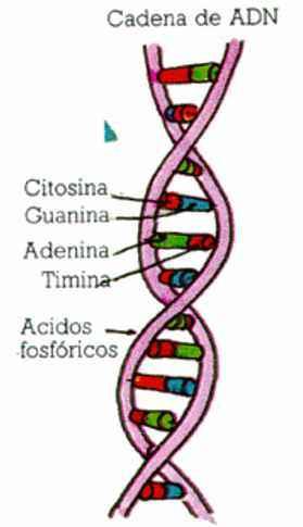 El ADN:Genes y Cromosomas Objetivos del Proyecto Genoma Humano – BIOGRAFÍAS  e HISTORIA UNIVERSAL,ARGENTINA y de la CIENCIA