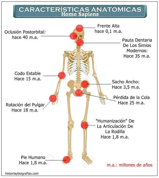 caracteristicas anatomicas del homo sapiens