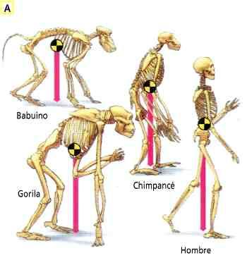 postura simios