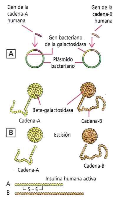 esquema obtencion de insulina reconbinante