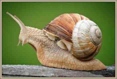 moluscos caracol reino animal