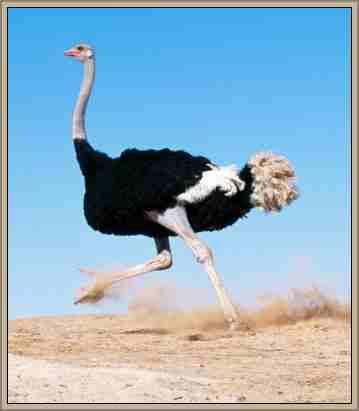 avestruz ave que no vuela