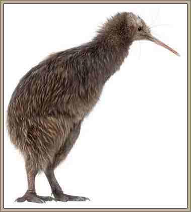 kiwi ave que no vuela