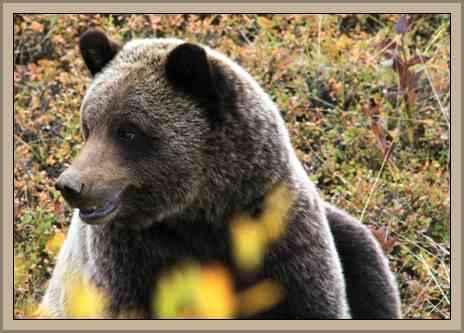 oso gris en parque de alaska
